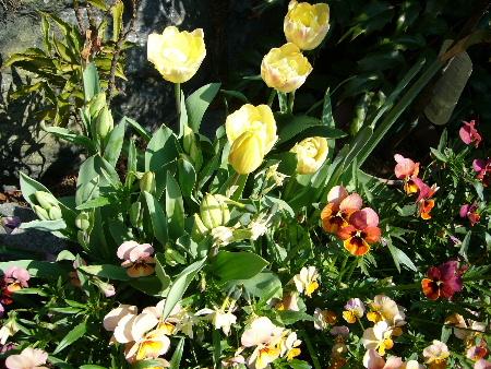 tulip0479.JPG