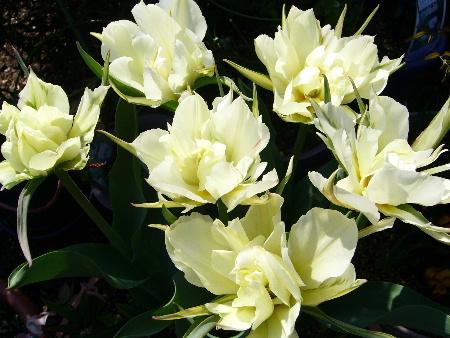 tulip0330.JPG