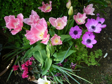 tulip0476.JPG